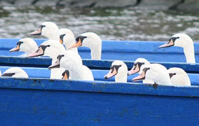 Die Alsterschwäne im Boots-Taxi. Foto: Hamburger Schwanenwesen.